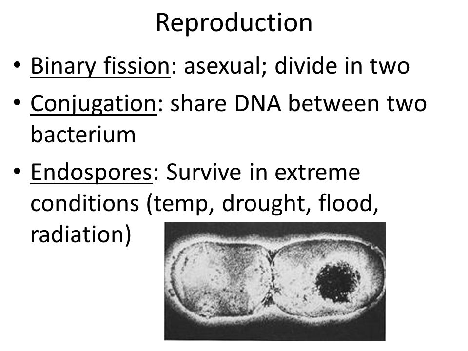 Reproduction Binary fission: asexual; divide in two