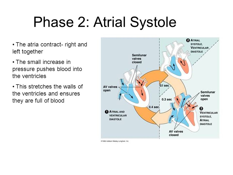Phase 2: Atrial Systole The atria contract- right and left together