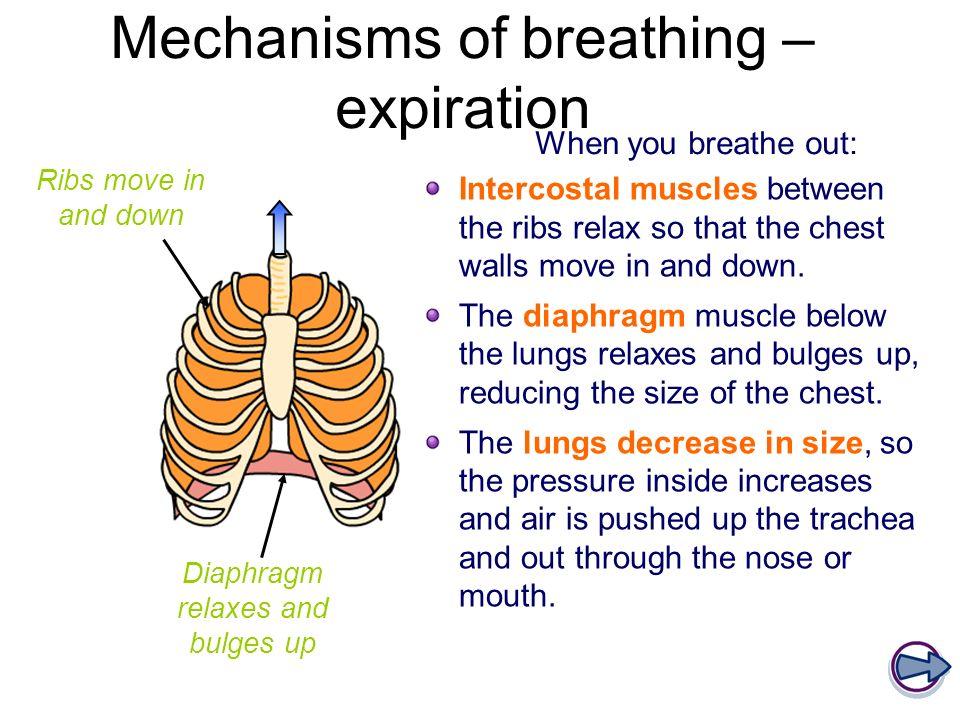 Mechanisms of breathing – expiration
