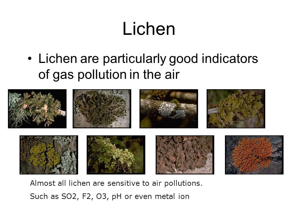 Lichen Lichen are particularly good indicators of gas pollution in the air. Almost all lichen are sensitive to air pollutions.