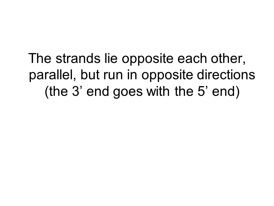 The strands lie opposite each other, parallel, but run in opposite directions (the 3' end goes with the 5' end)