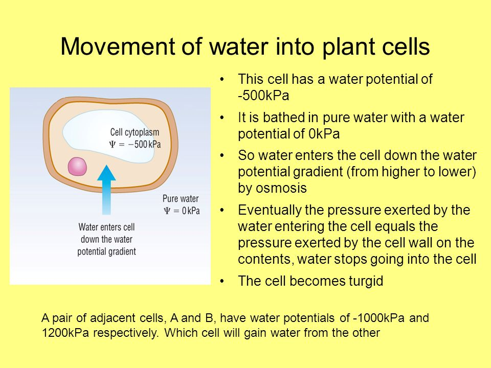 Movement of water into plant cells