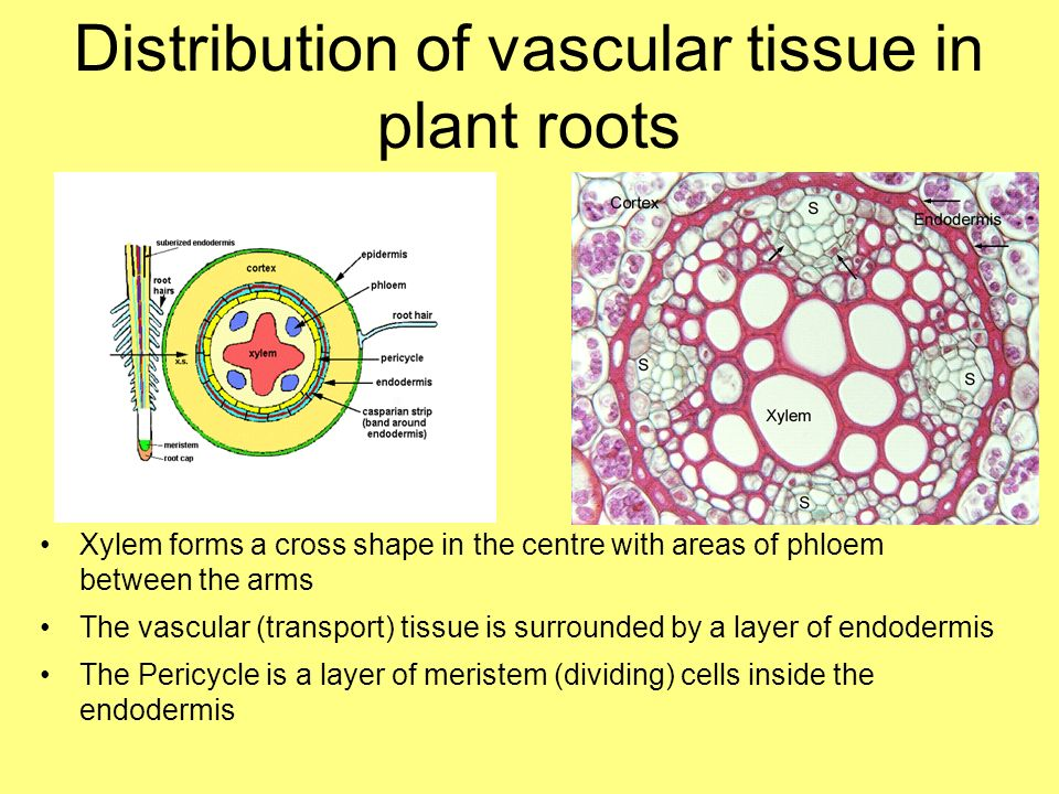 Transport in Plants Explain the need for transport systems ...