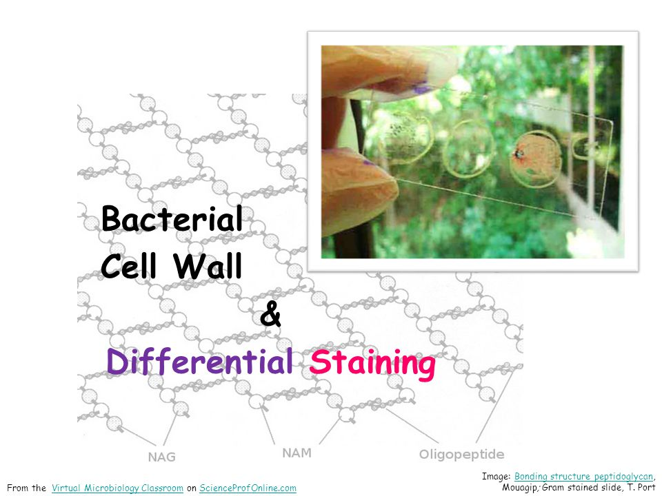 Differential Staining