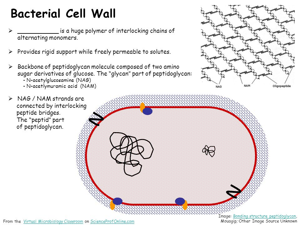 Bacterial Cell Wall ___________ is a huge polymer of interlocking chains of alternating monomers.