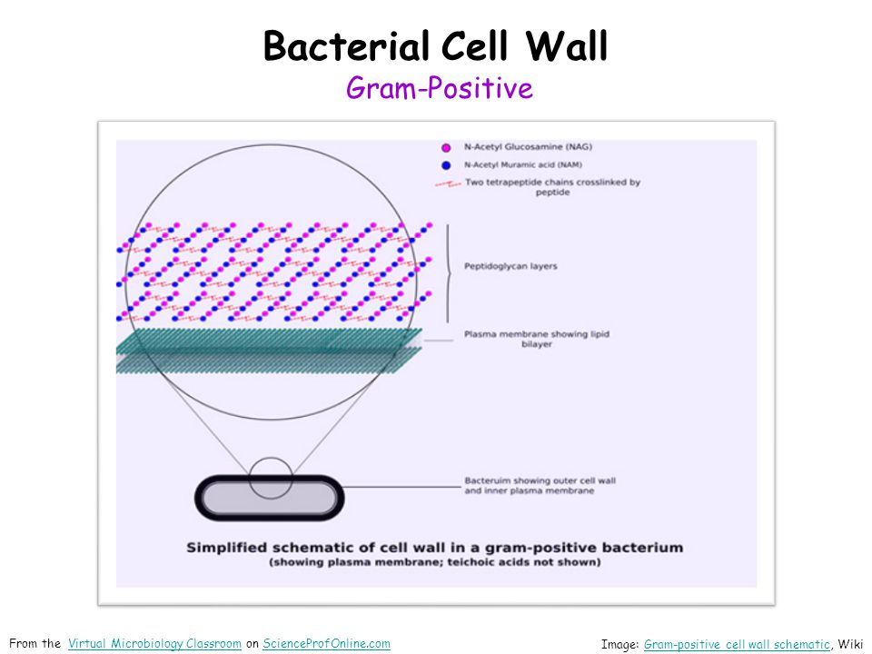 Bacterial Cell Wall Gram-Positive