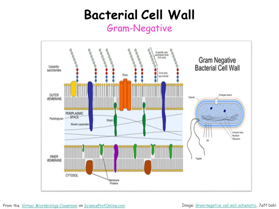 Bacterial Cell Wall Gram-Negative