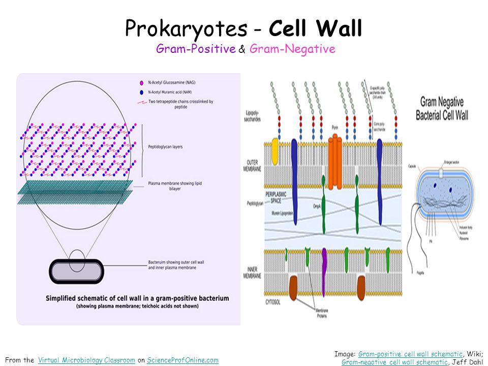 Prokaryotes - Cell Wall Gram-Positive & Gram-Negative
