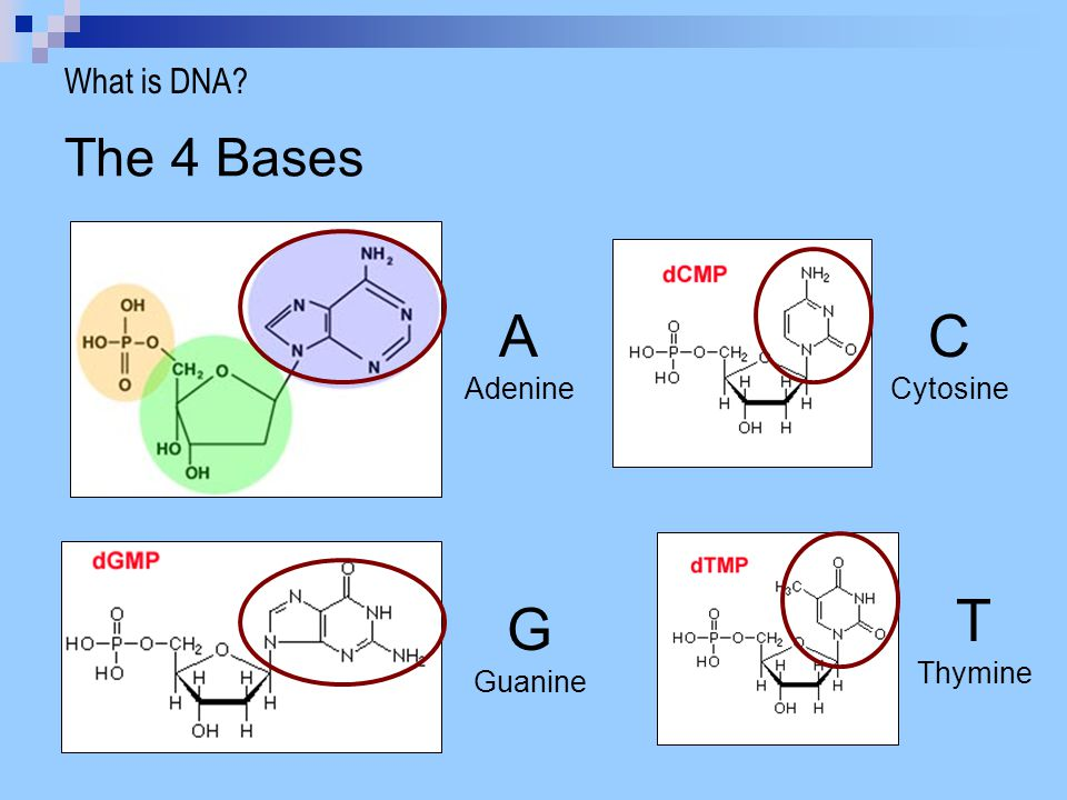 What is DNA The 4 Bases A Adenine C Cytosine T Thymine G Guanine