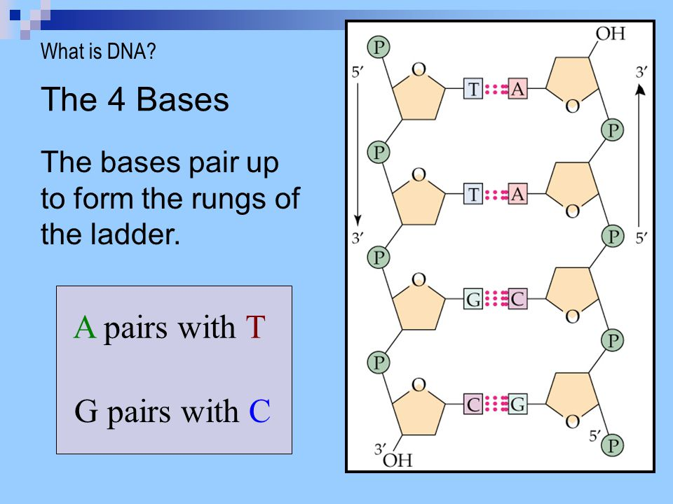 The 4 Bases A pairs with T G pairs with C
