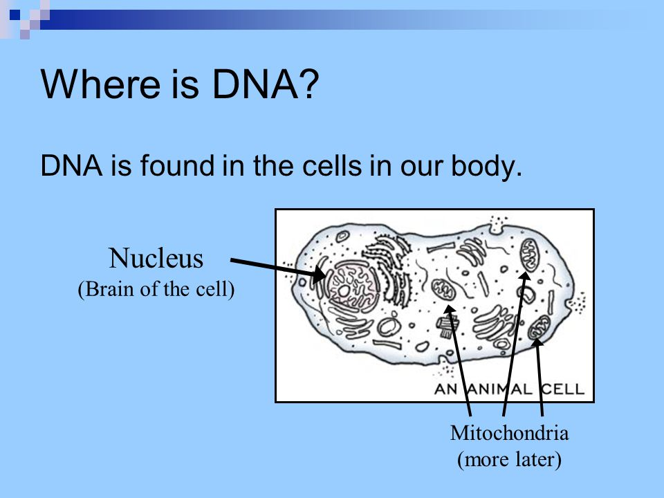 Where is DNA DNA is found in the cells in our body. Nucleus