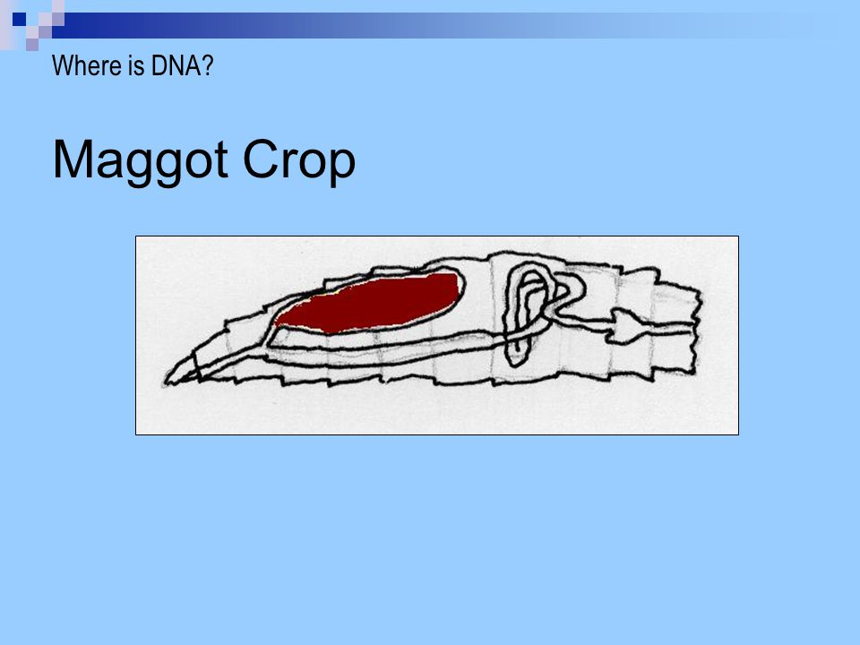 Where is DNA Maggot Crop