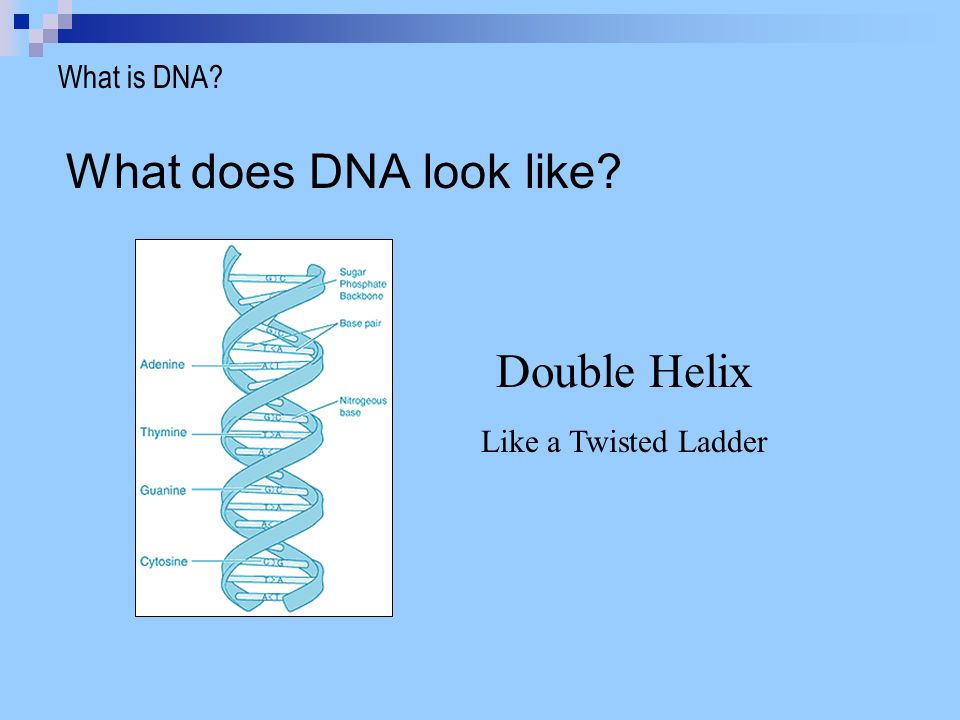 What does DNA look like Double Helix What is DNA
