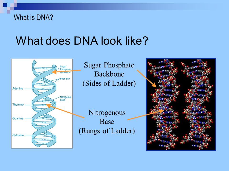 What does DNA look like What is DNA Sugar Phosphate Backbone