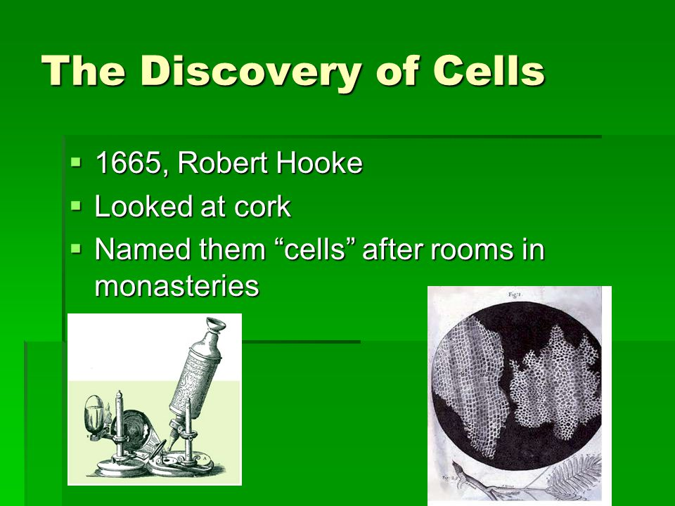 The Discovery of Cells 1665, Robert Hooke Looked at cork