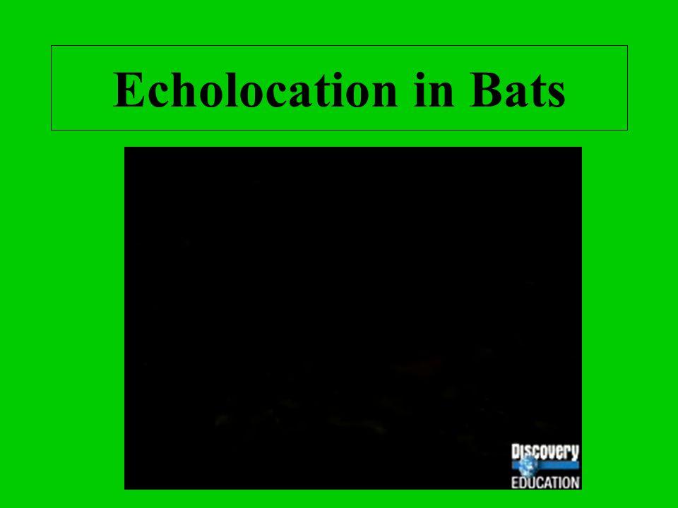 Echolocation in Bats