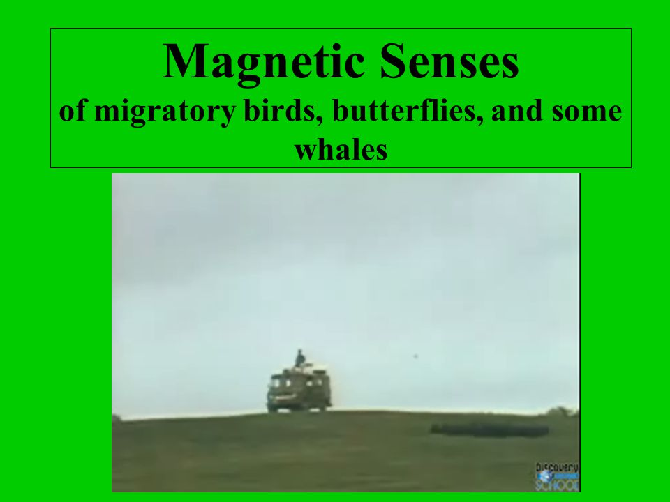 Magnetic Senses of migratory birds, butterflies, and some whales