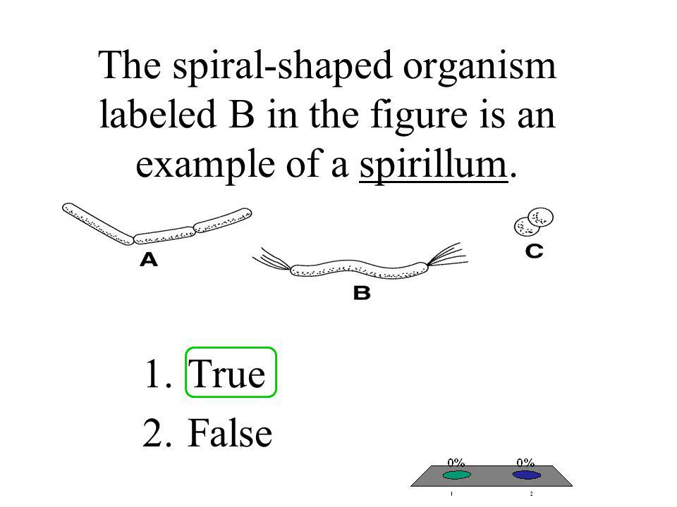 The spiral-shaped organism labeled B in the figure is an example of a spirillum.