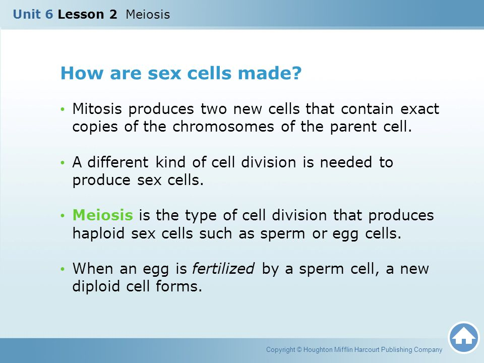 Unit 6 Lesson 2 Meiosis How are sex cells made Mitosis produces two new cells that contain exact copies of the chromosomes of the parent cell.