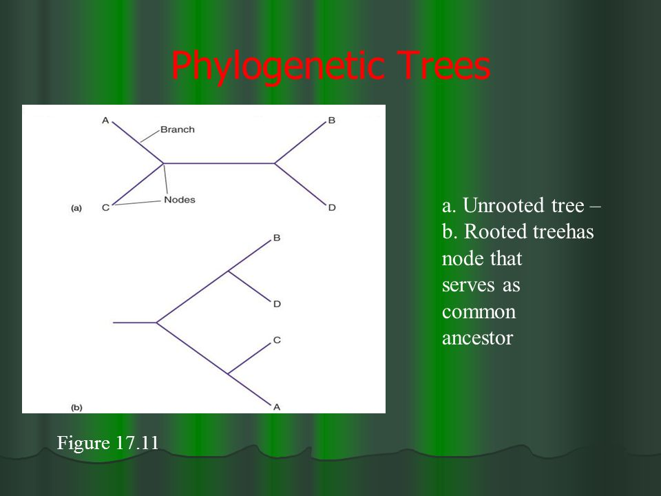 Phylogenetic Trees a. Unrooted tree – b. Rooted treehas node that