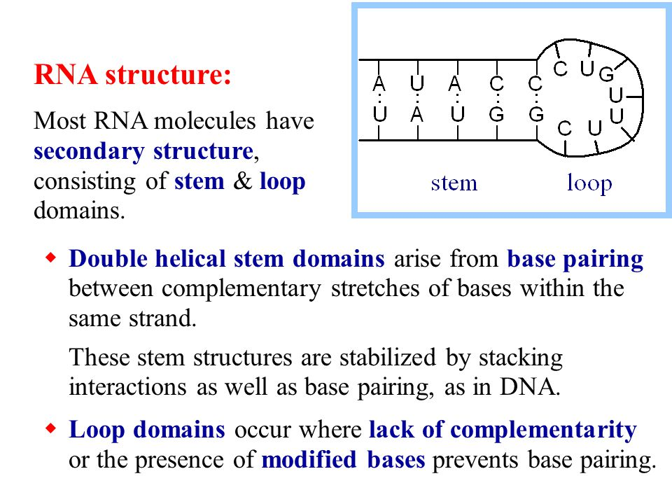 RNA structure: Most RNA molecules have secondary structure, consisting of stem & loop domains.