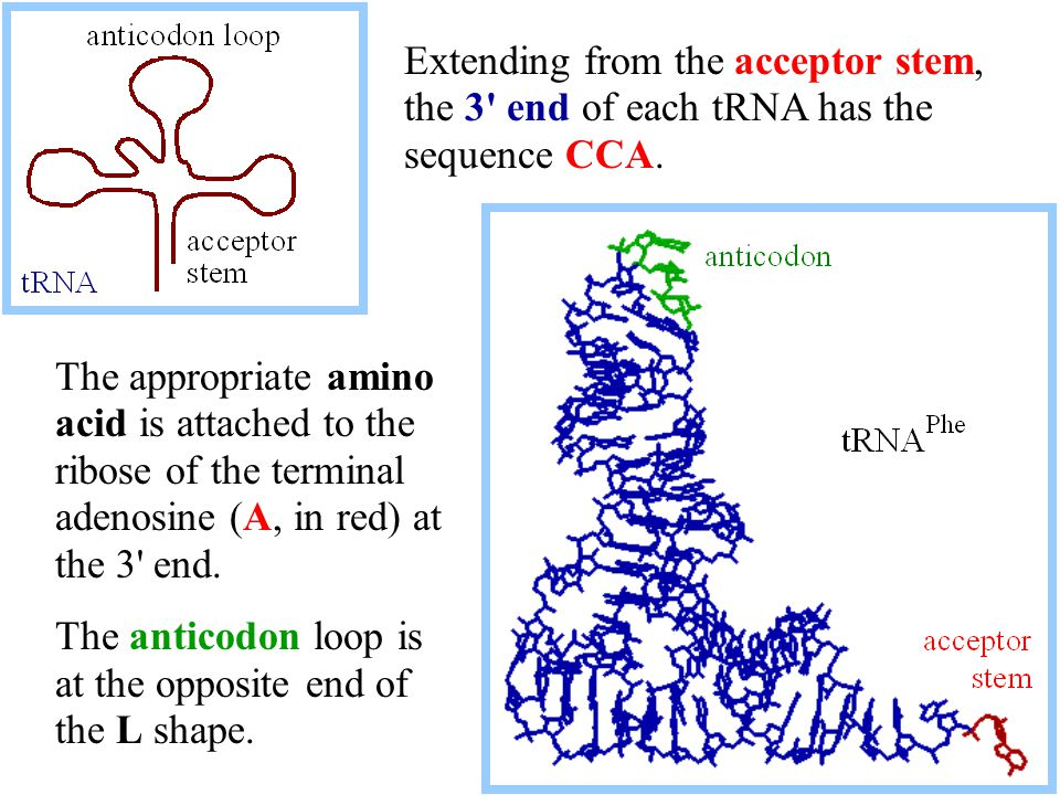 Extending from the acceptor stem, the 3 end of each tRNA has the sequence CCA.