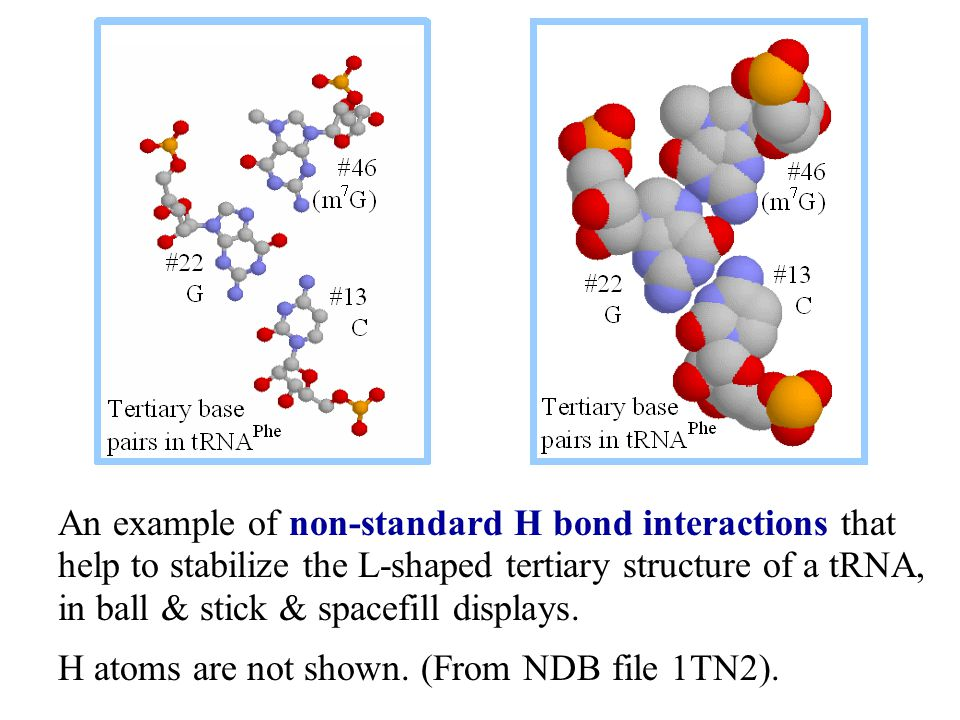An example of non-standard H bond interactions that help to stabilize the L-shaped tertiary structure of a tRNA, in ball & stick & spacefill displays.