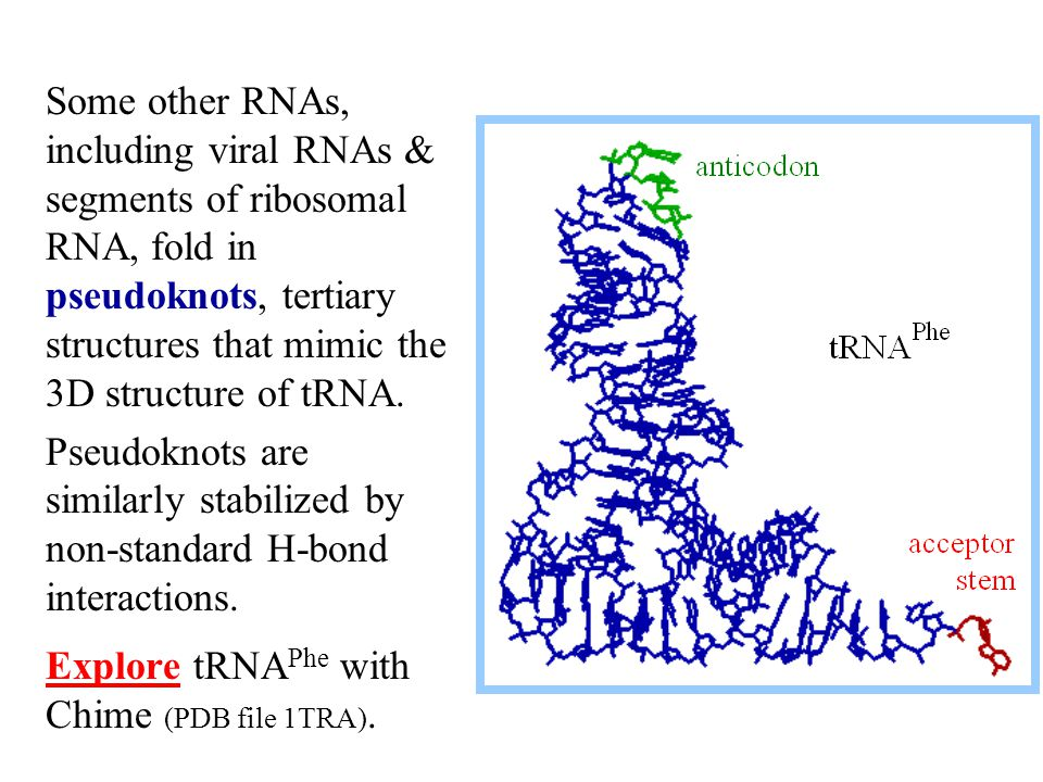 Some other RNAs, including viral RNAs & segments of ribosomal RNA, fold in pseudoknots, tertiary structures that mimic the 3D structure of tRNA.