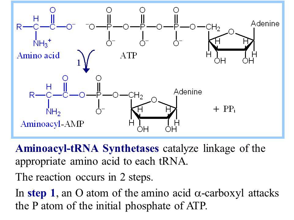Aminoacyl-tRNA Synthetases catalyze linkage of the appropriate amino acid to each tRNA.