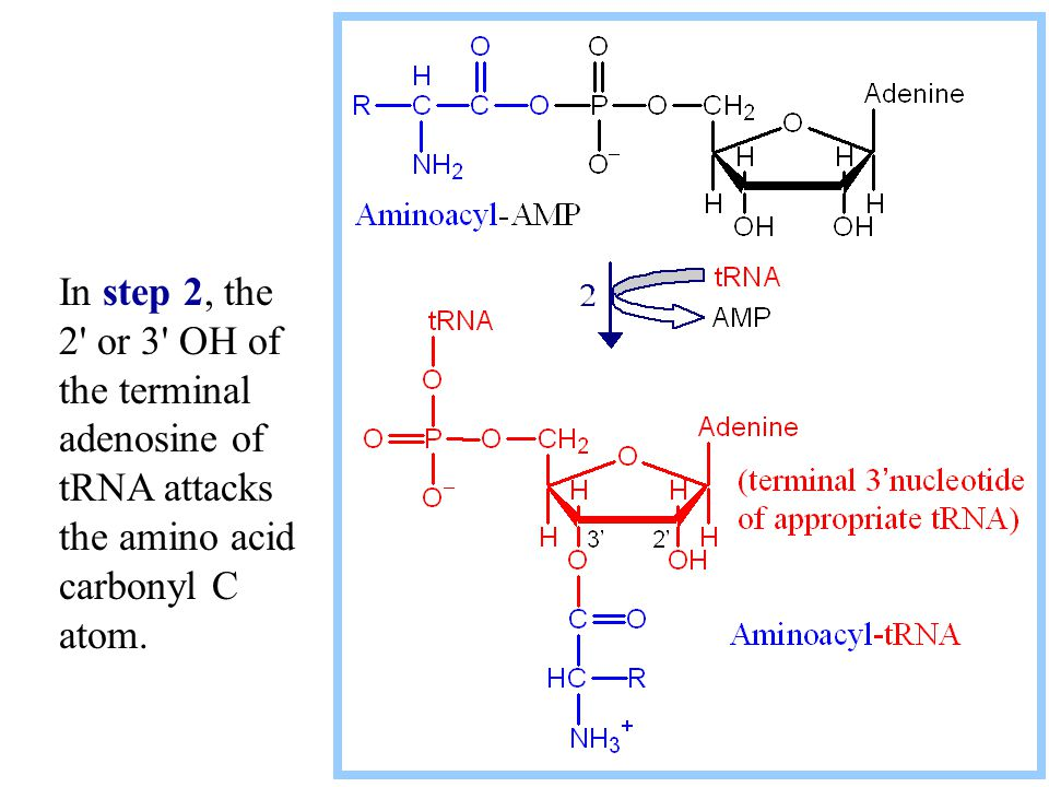 In step 2, the 2 or 3 OH of the terminal adenosine of tRNA attacks the amino acid carbonyl C atom.