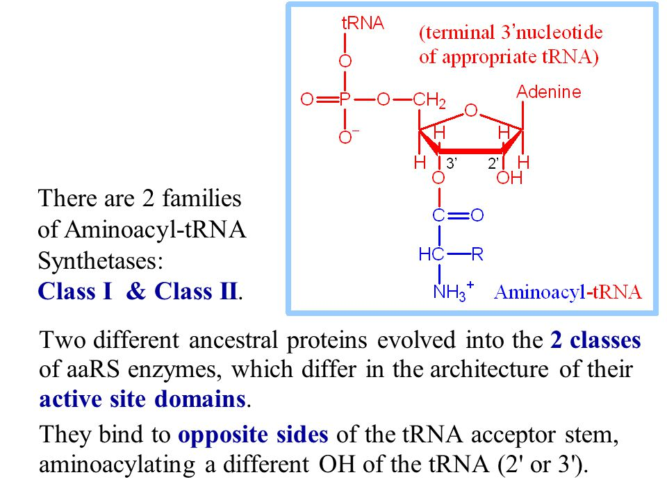There are 2 families of Aminoacyl-tRNA Synthetases: Class I & Class II.