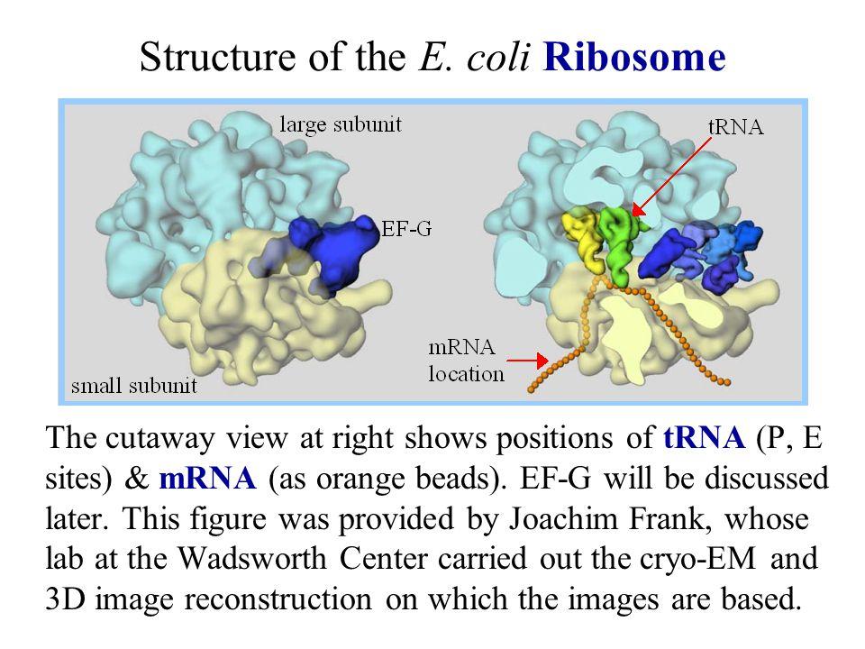 Structure of the E. coli Ribosome