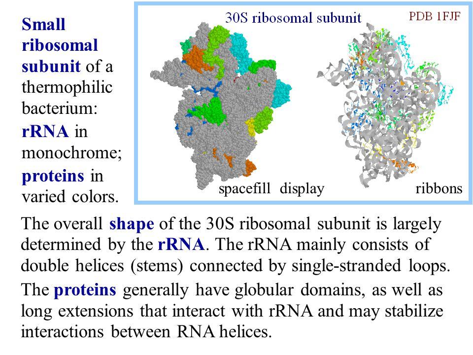 Small ribosomal subunit of a thermophilic bacterium: