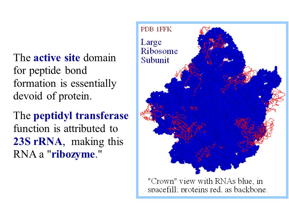The active site domain for peptide bond formation is essentially devoid of protein.