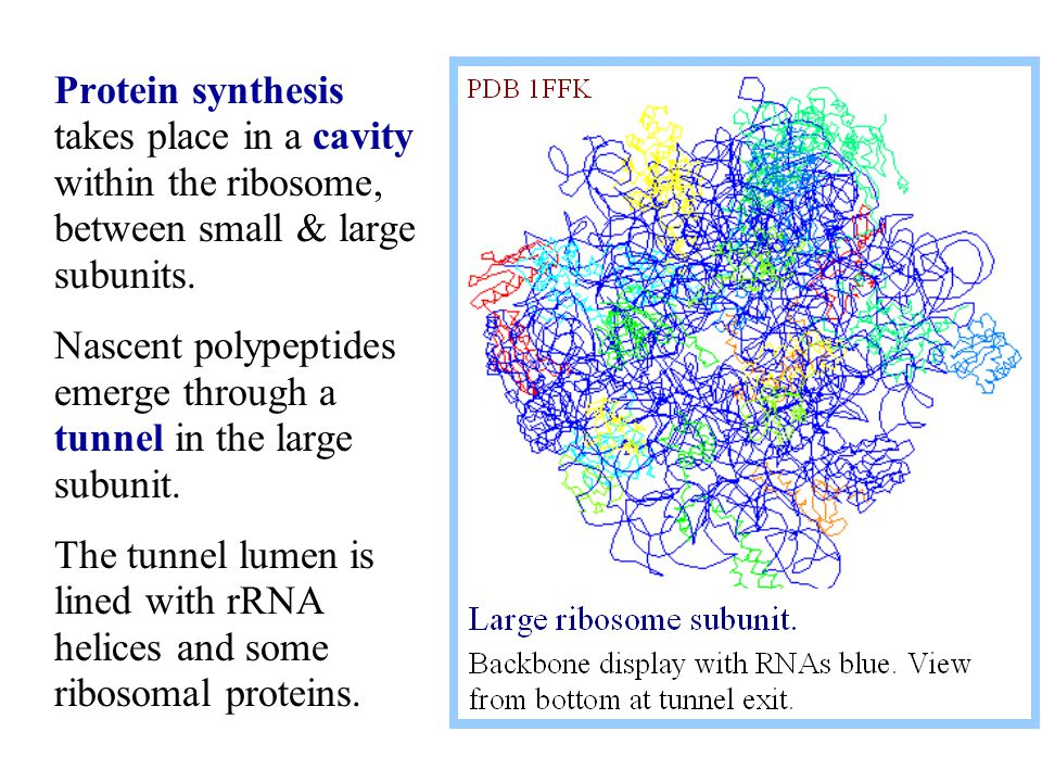 Protein synthesis takes place in a cavity within the ribosome, between small & large subunits.