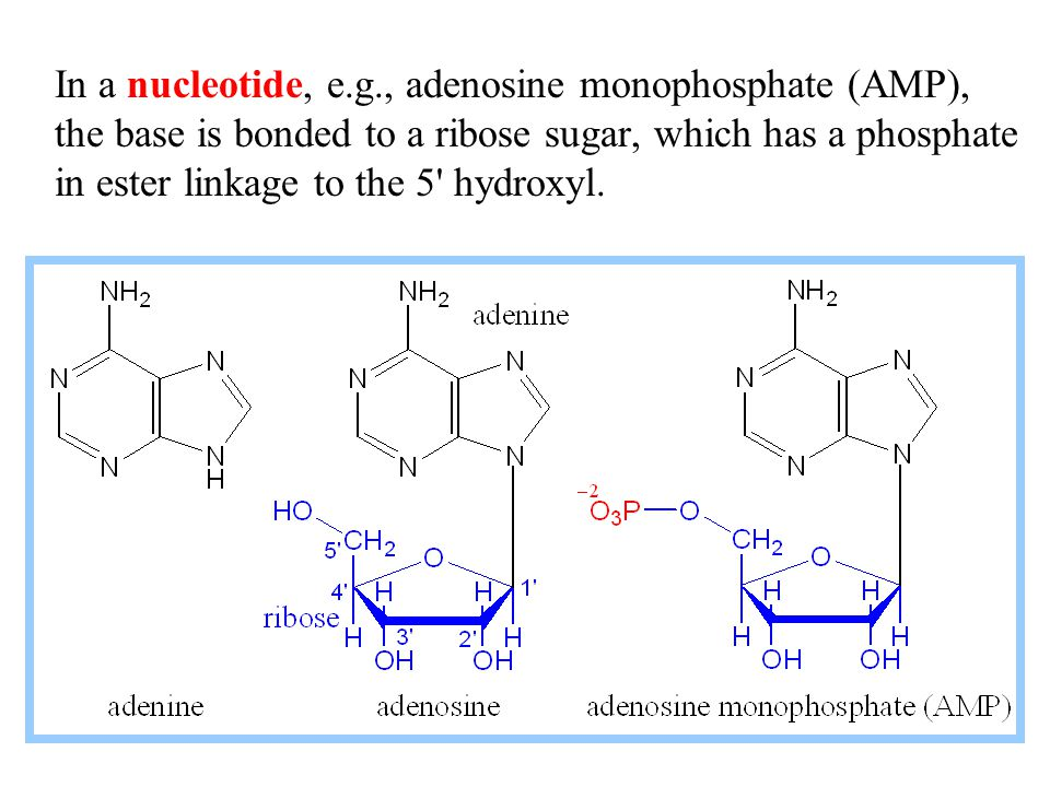 In a nucleotide, e.g., adenosine monophosphate (AMP), the base is bonded to a ribose sugar, which has a phosphate in ester linkage to the 5 hydroxyl.