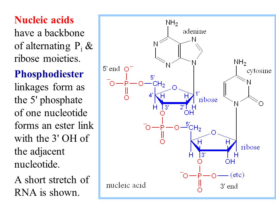 Nucleic acids have a backbone of alternating Pi & ribose moieties.