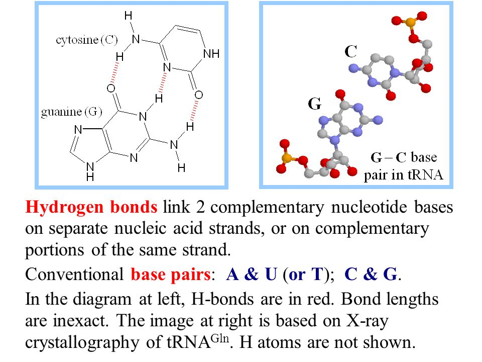 Hydrogen bonds link 2 complementary nucleotide bases on separate nucleic acid strands, or on complementary portions of the same strand.