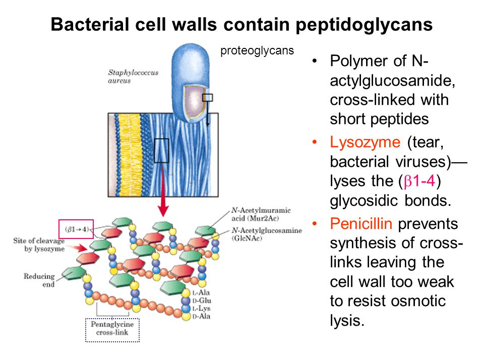 Bacterial cell walls contain peptidoglycans