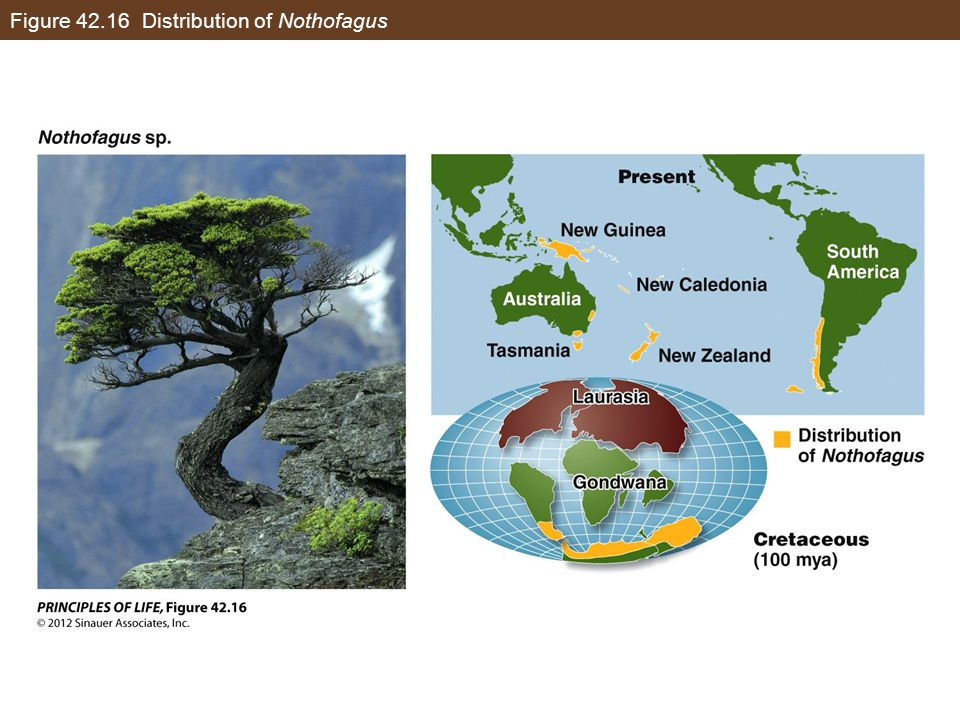 Figure 42.16 Distribution of Nothofagus