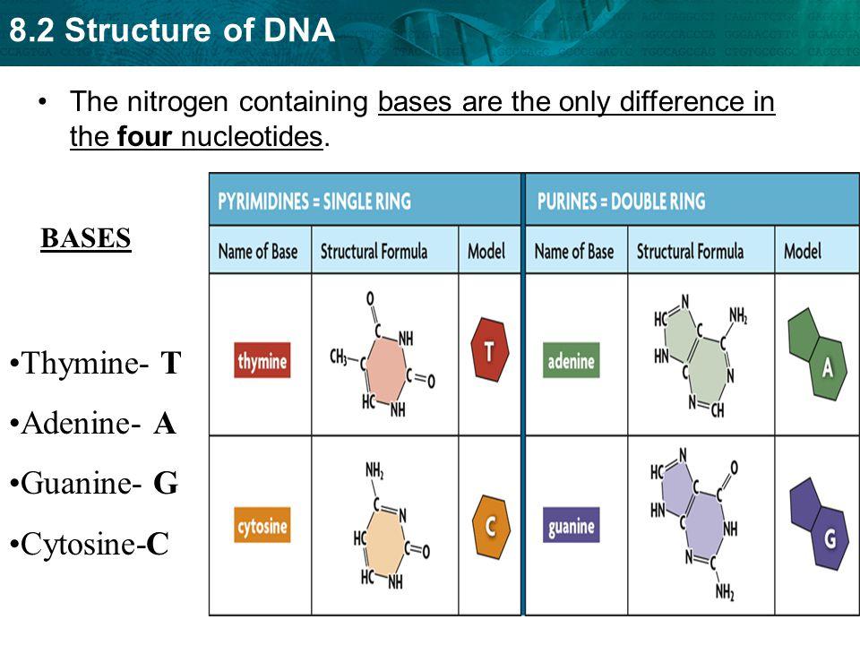 Thymine- T Adenine- A Guanine- G Cytosine-C
