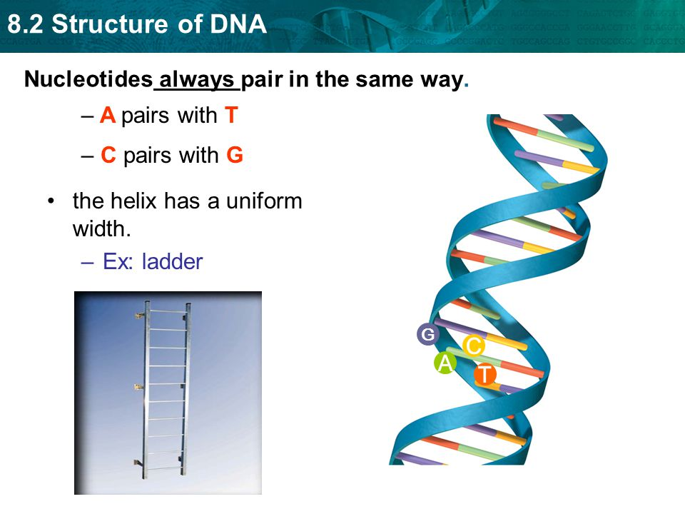 Nucleotides always pair in the same way.