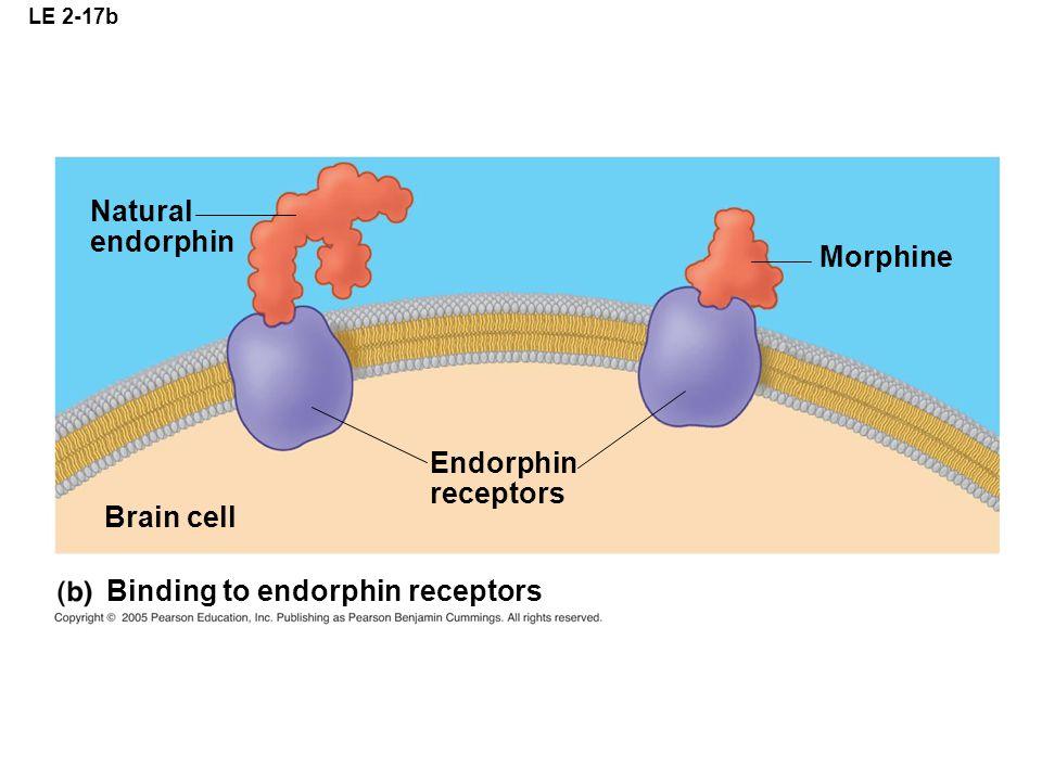 Binding to endorphin receptors