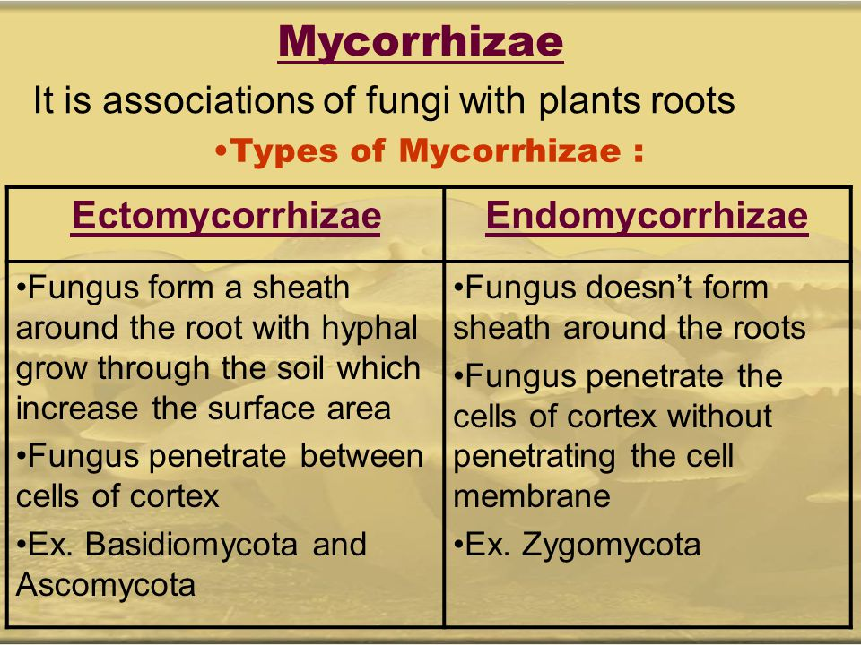 Mycorrhizae It is associations of fungi with plants roots