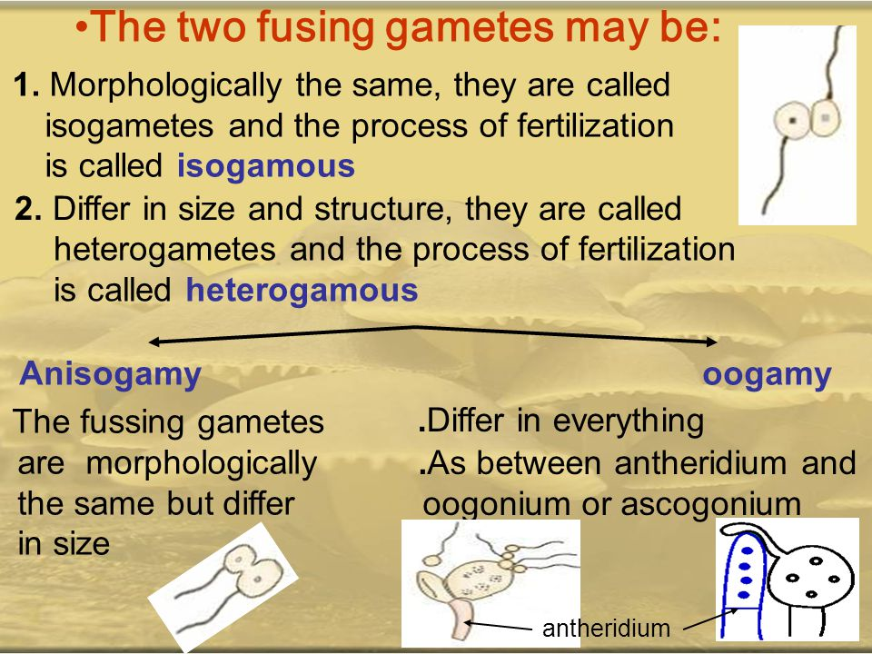 The two fusing gametes may be: