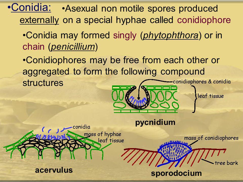 Conidia: Asexual non motile spores produced