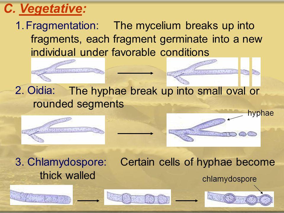 C. Vegetative: Fragmentation: The mycelium breaks up into
