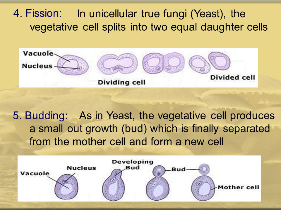 4. Fission: In unicellular true fungi (Yeast), the. vegetative cell splits into two equal daughter cells.