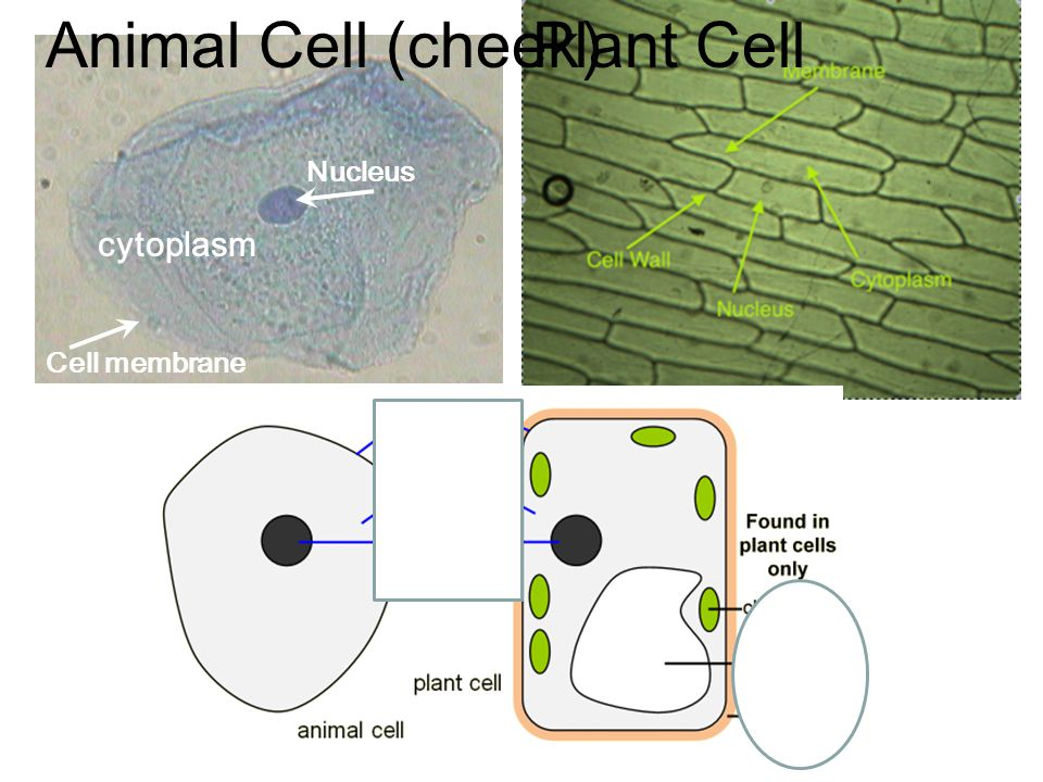 Animal Cell (cheek) Plant Cell Nucleus Cell membrane cytoplasm