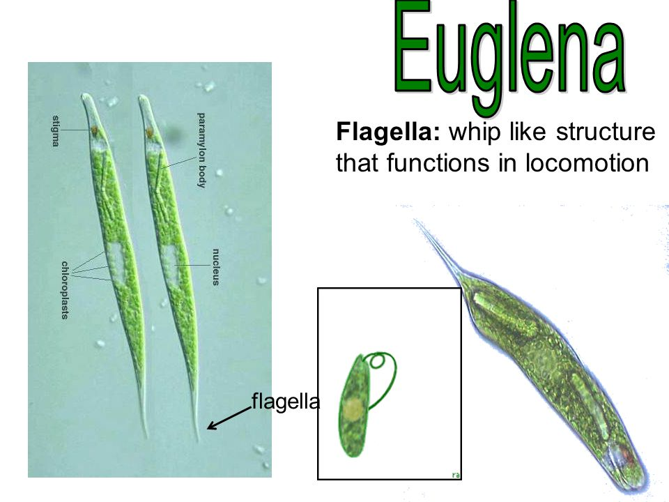 Euglena Flagella: whip like structure that functions in locomotion